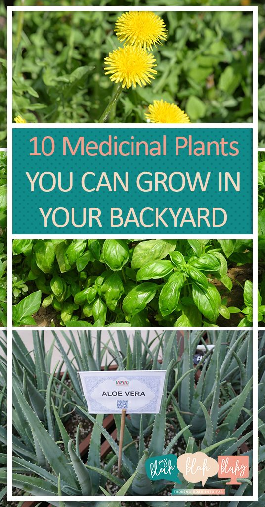 10 Medicinal Plants You Can Grow In Your Backyard| Gardening, Medicinal Plants, Healing Herbs, How to Grow Healing Herbs, Gardening Tips, Gardening Tips and Tricks, Yard and Landscape, Landscaping Tips and Tricks