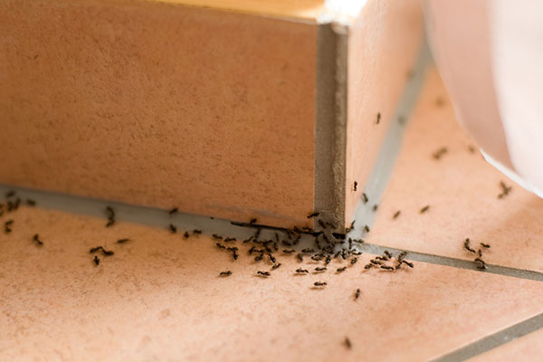 How to Get Rid of Ants Indoors!| Indoor Ant Repellent, Indoor Ant Killer, Indoor Ant Killer Spray, Pest Control #IndoorAntRepellent #IndoorAntKiller #PestControl