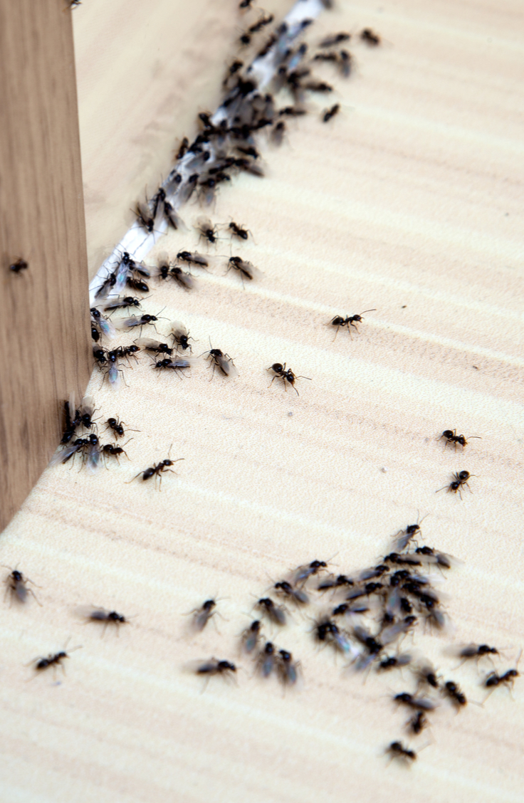 Yuck! Do you have an ant infestation in your home? Though these tiny, resilient bugs may seem impossible to defeat, there are some pretty easy indoor ant repellent ideas to help you chase them out of your home for good. If you spray a mixture of lemon juice and water, it will kill the ants on contact.