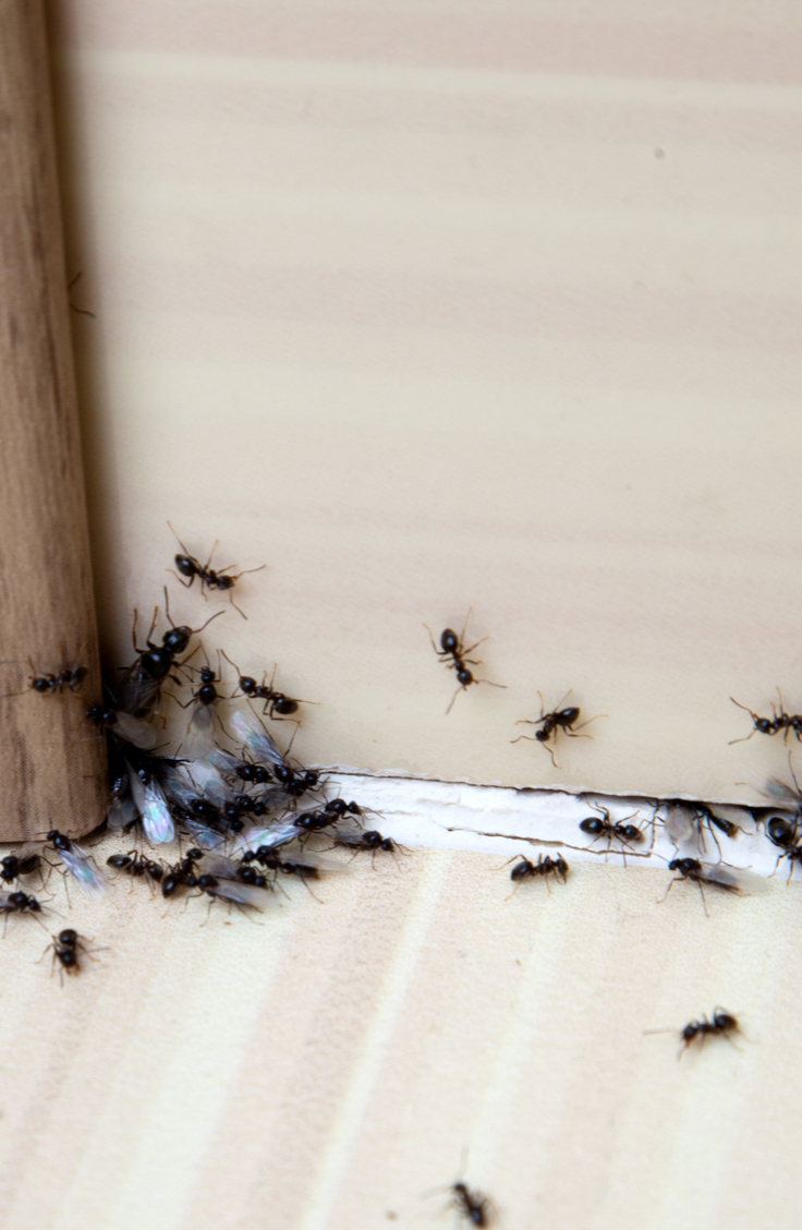 Yuck! Do you have an ant infestation in your home? Though these tiny, resilient bugs may seem impossible to defeat, there are some pretty easy indoor ant repellent ideas to help you chase them out of your home for good. You can even use something as simple as salt and pepper. Find out more here!