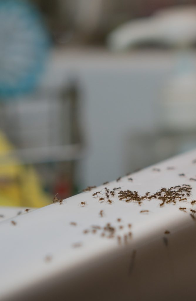 Yuck! Do you have an ant infestation in your home? Though these tiny, resilient bugs may seem impossible to defeat, there are some pretty easy indoor ant repellent ideas to help you chase them out of your home for good. Try using borax soap mixed with sugar. This will kill them when they carry it back to their nest.