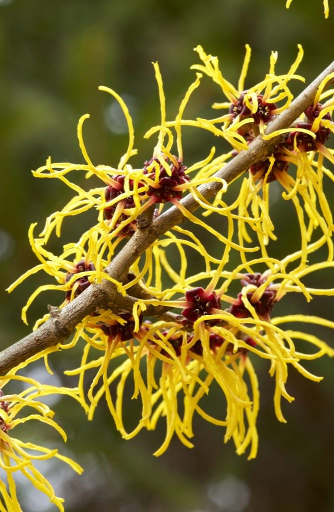 Witch hazel is honestly one of the best things out there! Did you know that witch hazel can help heal bruises? Check out these awesome witch hazel uses for more!