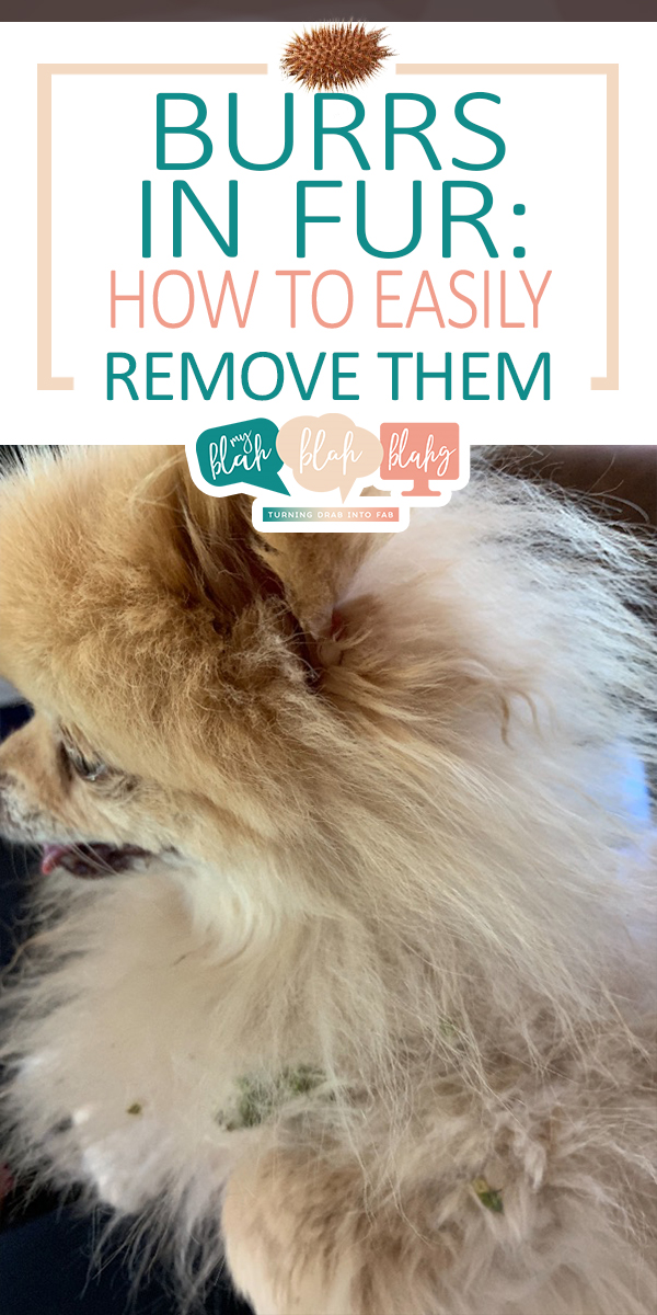 burrs in fur | burrs | pet owner | fur | how to remove burrs in fur | how to | dogs | cats