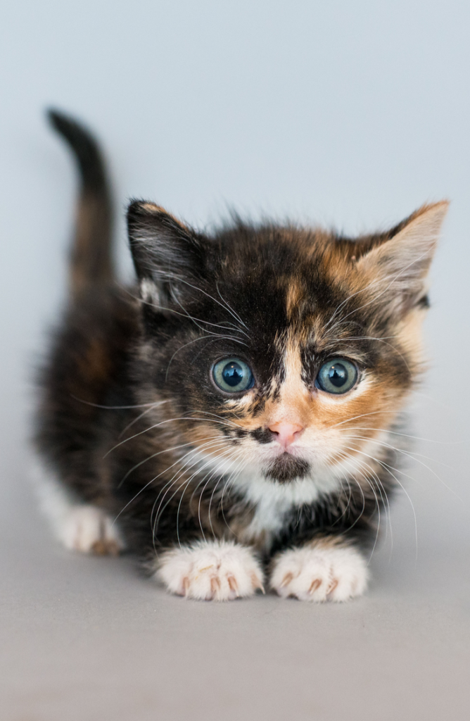 Whether you have a boy, a girl, a calico, or are just looking for some cute kitten names, we've got you covered. Your family will love adding a calico kitty!