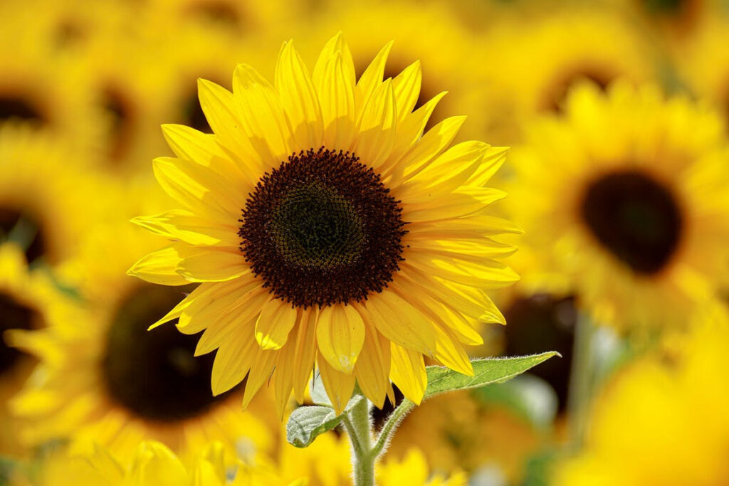 How to make sunflower paper flowers
